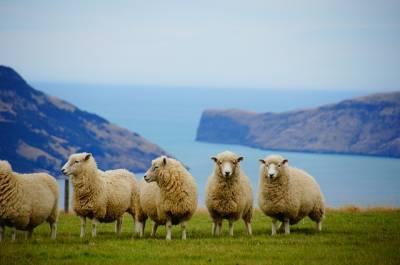 Características y usos de la tripa natural de ovino